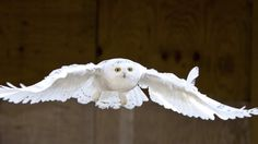 A snowy owl in flight. This week, CBC TV's The Nature of Things explores owls and introduces passionate owl experts along the way. Mother Goose Parade, Lechuza Tattoo, Whisky Jack, Gray Jay, Amazon Parrot, Black Capped Chickadee, Great Horned Owl, Snowy Owl, Face Off