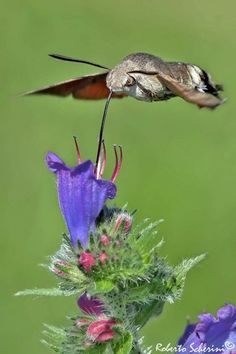 Hummingbird moth - a favorite pollinator, often seen at dusk. Cool Insects, Bugs And Insects, Cute Moth, Colorful Moths, Pet Rodents, Hummingbird Moth, Hawk Moth, Backyard Birds, Bird Pictures