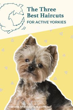 Yorkie hair care has a bad reputation, and sometimes for good reason. Yorkie hair is fine and tends to need a lot of care. However, with the right Yorkie haircut styles and grooming tips, a lot of the headache can be avoided. Yorkie Short Haircuts, Yorkie Hairstyles, Dog Haircuts, Yorkie Teddy Bear Cut, Yorkie Cuts, Dog Grooming Tips, Dog Grooming Business, Poodle Grooming, Yorkshire Terrier Haircut