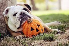 The major breeds of bulldogs are English bulldog, American bulldog, and French bulldog. The bulldog has a broad shoulder which matches with the head. English Bulldog Care, British Bulldog, Bulldog Puppies, Dogs And Puppies, Doggies, Animals And Pets, Cute Animals, Cute Bulldogs, Baby Bulldogs