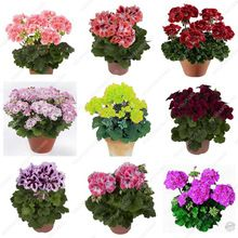 30 Pcs Rare True Geranium Seeds Potted Balcony Planting Seasons Pelargonium Potted Flower Seeds For Indoor Bonsai Mixed Color gnomes hydroponics tool organization club projects Perennial Flowering Plants, Hosta Plants, Bonsai Plants, Blooming Plants, Foliage Plants, Flowers Perennials, Flower Seeds, Flower Pots, Indoor Bonsai