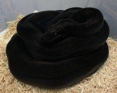 The blackness of this snake (ball python ?): oddlysatisfying
