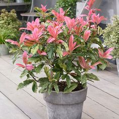Buy photinia Photinia serratifolia Pink Crispy (PBR) - Heavily marbled green and cream foliage.: 2 litre pot: Delivery by Crocus Evergreen Shrubs, Trees And Shrubs, Flowering Trees, Fast Growing Flowers, Jungle Gardens, Garden Compost, Gardening, Plastic Pots, Garden Care
