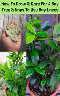roses garden care How To Grow amp; Care For A Bay Tree amp; Bay Leaf Uses Bay Leaf Plant, Bay Leaf Tree, Plant Leaves, Spice Garden, Herb Garden, Easy Garden, Small Shrubs, Small Trees, Garden Trees