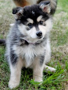 Finnish Lapphund I'm in love with these dogs Pomsky Puppies, Cute Puppies, Dogs And Puppies, Cesar Millan, Animals And Pets, Baby Animals, Cute Animals, Beautiful Dogs, Animals Beautiful