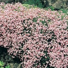 """Pink Baby's Breath Gypsophila paniculata 'Pink Fairy Baby's breath that is actually pink! Plant in your sunny perennial garden. It blooms from early summer thru early fall. This upright, bush type grows up to 3' tall. Use as a filler plant to cover dying bulb foliage or for perennials that go dormant in the summer months. Deer resistant. Best in sunny sites, average to alkaline soils and spots with good drainage. Can manage drought once established. zone 3 - 9, 5.5"""" extra deep pot"""