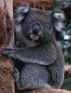Would Love to visit Australia some day. Definitely need to see one of these precious bears in person.