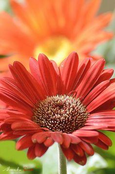 Orangey-Red Gerbera Daisy  ..------>>>>>>>>>> fastseoguru.com