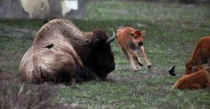 Shunned by its herd, the animal began approaching visitors and creating danger on the park's roads, officials said.