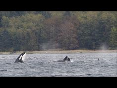 Bigg's Killer Whales - Western Prince - 10/17/14