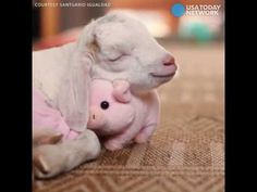 Adorable Baby Goat Cuddles Stuffed Animal Pig For The Sweetest Naptime