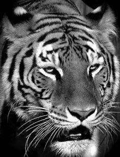 #tiger #blackandwhitephotography #animals #bigcats