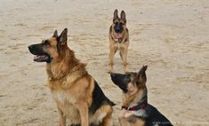 Skills for German Shepherds can be divided into three levels. Here are commands for training puppies, commands for training young dogs, and options for advanced training.