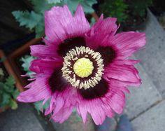 Google Image Result for http://www.free-photos.biz/images/art/abstraction/purple_opium_poppy_flower.jpg