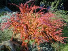 Shrubs in the winter and the winter on pinterest for Low maintenance winter plants