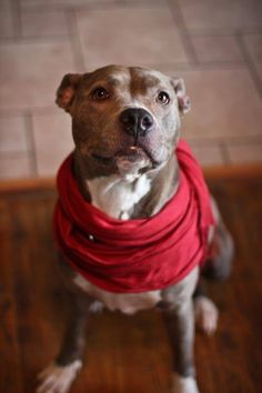 OMG I WANT HER Sophie American Staffordshire Terrier Pit Bull Terrier Mix • Young • Female • Medium Peace for Pits, Inc Villa Park, IL