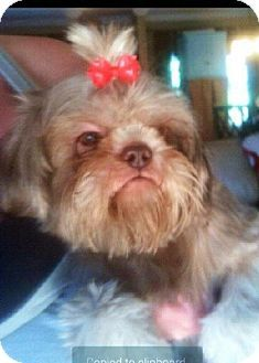 Yardley, PA - Poodle (Miniature)/Shih Tzu Mix. Meet Lilly Mae T~B, a dog for adoption. http://www.adoptapet.com/pet/12318271-yardley-pennsylvania-poodle-miniature-mix