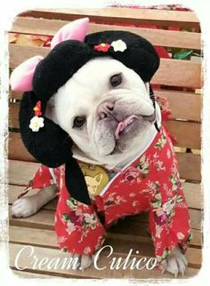 'Geisha' French Bulldog in Costume.