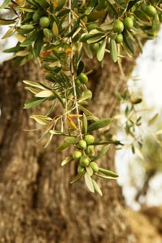 Olives ~ photo by Luciana Leal Terre Nature, Olives, Under The Tuscan Sun, Olive Gardens, Olive Tree, Jolie Photo, Natural World, Provence, Olive Oil