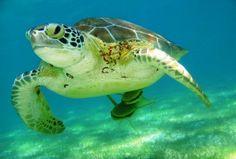 Escape to Playa del Carmen! sea turtle akumal