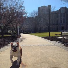 Butler Bulldogs, Butler University, Do Or Die, Fur Babies, Boston Terrier, Best Friends, College, Blue, Instagram