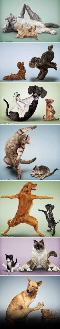 So cute. Boris couple recently design a unique calendar, models are yoga posture of cats and dogs But these pets are not really do yoga, but carefully designed photographer Dan Boris said, the couple often received the stray dogs and cats, and inspired by friends of the dog motion very like yoga:http://www.duosenfashion.com/ #idea #art #pets # dogs #cats #catlovers #fsahion #love
