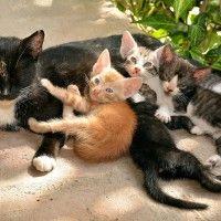 Cuccioli di gatto: dalla gravidanza al loro svezzamento