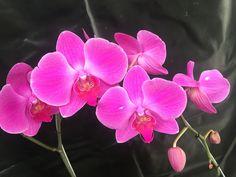 Orquídea phalaenopsis Eva's solo caricias x phalaenopsis eureshina sweet Angel