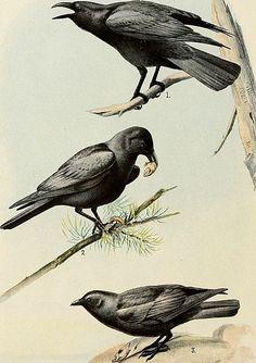 Wikimedia Commons, Public Domain, Free Images, Bird, Prints, Animals, Animales, Animaux, Free Pics