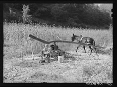 Ginning the sorghum cane while making syrup at a mountaineer's home in Breathitt County, Kentucky