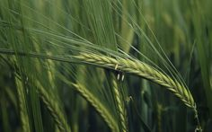 Free wheat picture - wheat category