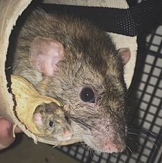 Aww we. What a cute little peanut!!! Animals And Pets, Baby Animals, Cute Animals, Dumbo Rat, Fancy Rat, Cute Rats, Love Pet, Cute Creatures, Rodents