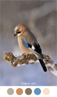 Kleurinspiratie vogel. Vlaamse gaai. Tinten grijs, blauw en bruin