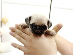 Mini pug! Too adorable <3