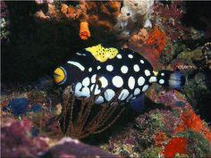 Clown-Trigger-Fish1