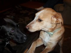 Honey and Frankie, the black husky/greyhound mix. He took to her better then I thought. He was the one I was worried about.