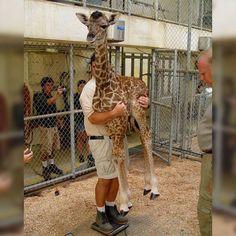 weighting a baby giraffe...