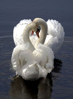 Swans. #photography #animals