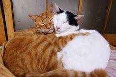 岩手県在住のShironeko様のブログ「かご猫」より、見ると思わず笑顔になってしまうユーモラスで幸せそうな猫写真を紹介します。 ねこ鍋ブームのはしりとなったかご猫。猫ブログの中では大変有名ですのでご存じの方も多いと思います。広角レンズでカゴと同じくらいデカく写ったシロくんのヘン顔がたまりません。また猫たちの背景に写っている自然にも注目です。山があり、採れたての野菜があり、大変自然豊かでのびのびとした田舎暮らしの雰囲気が伝わってきます。 かご猫: かご猫 Blog 猫たちのヘン顔が面白いだけでなく、とても安心した幸せな表情をしているのが良いです。飼い主を信頼しきっているんでしょうね。見てるこちらも和んでしまいます。 かご猫ブログには日々猫写真と猫動画がアップされています。アルバムページには大きいサイズの写真もたくさんあって見ごたえがあります。未見の方はぜひ訪問してみてください。和みまくります。 ...