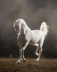 Majestic white Arabian