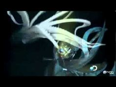 The Giant Squid is alive. This is incredible video footage of a live specimen. It is the first time one has been photographed and captured on film - live. Magnificent, even if they do get a lot larger. #giantsquid #seacreature #pacific #ocean #marinelife