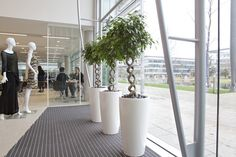 Double Twisted Ficus Benjamina's. Designed by Plantforce