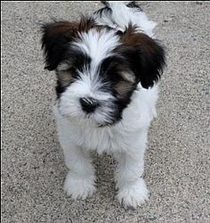 Tibetan Terrier- they basically look like this their entire lives. If you trim their coat properly