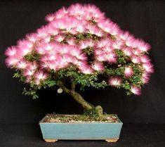 Beautiful Calliandra Bonsai in Full Bloom...