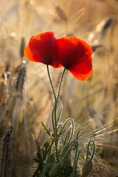Poppies and cornflowers Flowers Nature, Spring Flowers, Wild Flowers, Poppy Flowers, Hydroponic Vegetables, Flower Pictures, Red Poppies, Embroidered Flowers, Belle Photo