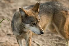 After a Killing: Next Steps for America's Most Endangered Mammal