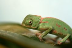 Veiled Chameleons have eyes that can swivel nearly 180 degrees!