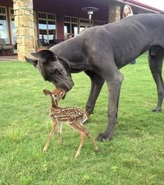 Gentle Giants: Great Dane with a fawn. OMG my heart melted. I cant wait to have a great Dane! Cute Baby Animals, Animals And Pets, Funny Animals, Wild Animals, Smiling Animals, Small Animals, I Love Dogs, Cute Dogs, Funny Dogs