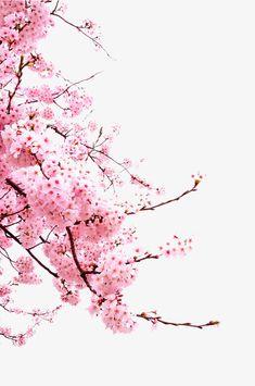 "drxgonfly: "" Sakura Cherry Blossom (by Kanji Uno) "" Cherry Blossom Drawing, Cherry Blossom Wallpaper, Cherry Blossom Watercolor, Sakura Cherry Blossom, Watercolor Flowers, Cherry Blossom Background, Cherry Blossom Quotes, Tree Wallpaper, Flower Wallpaper"