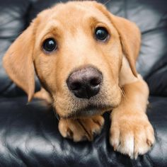 Look at those big brown eyes! Cute Puppies, Cute Dogs, Dogs And Puppies, Cute Babies, Animals And Pets, Baby Animals, Super Cute Animals, Funny Dog Pictures, Four Legged